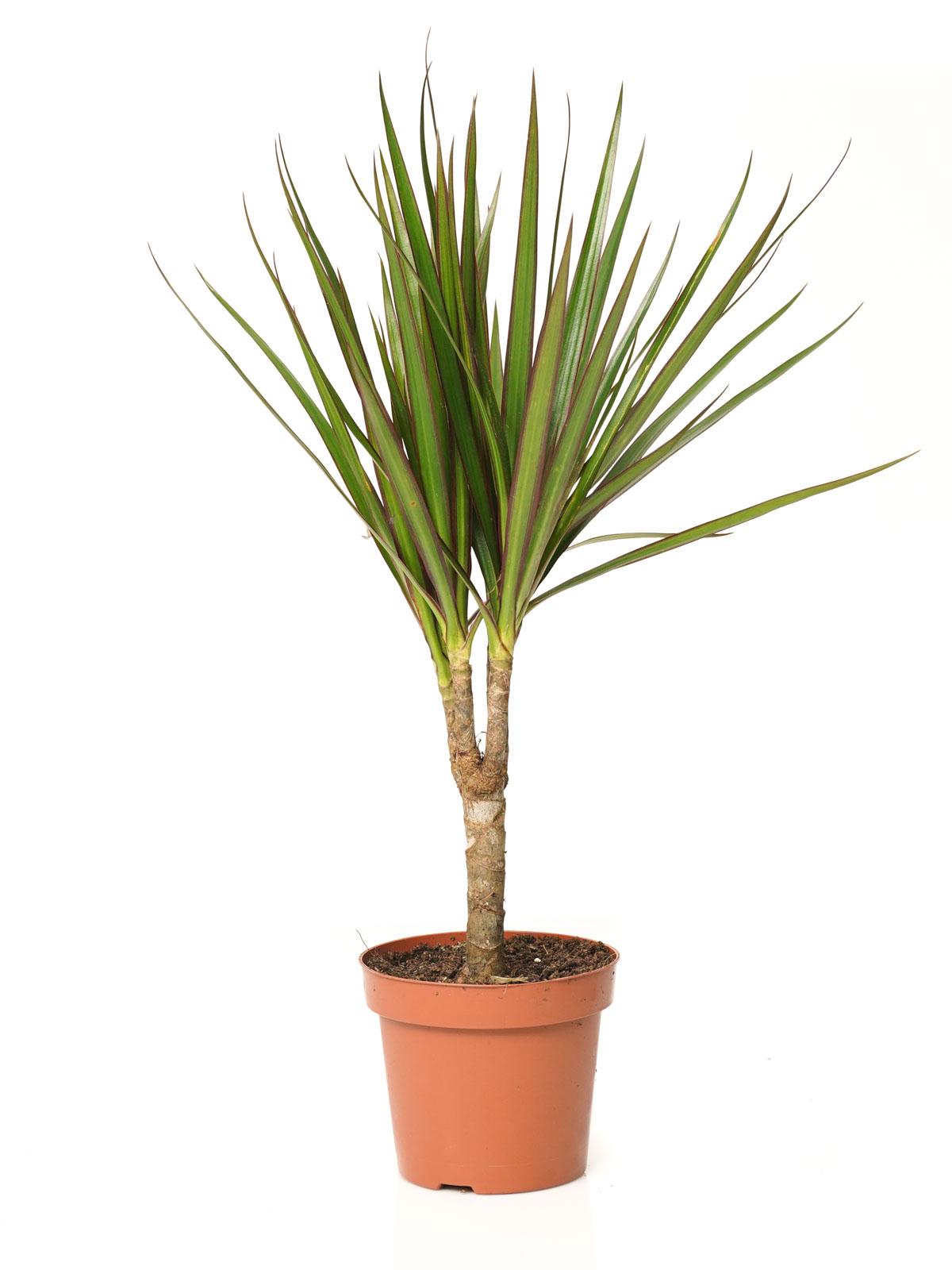 Dracaena Marginata Indoor Plants