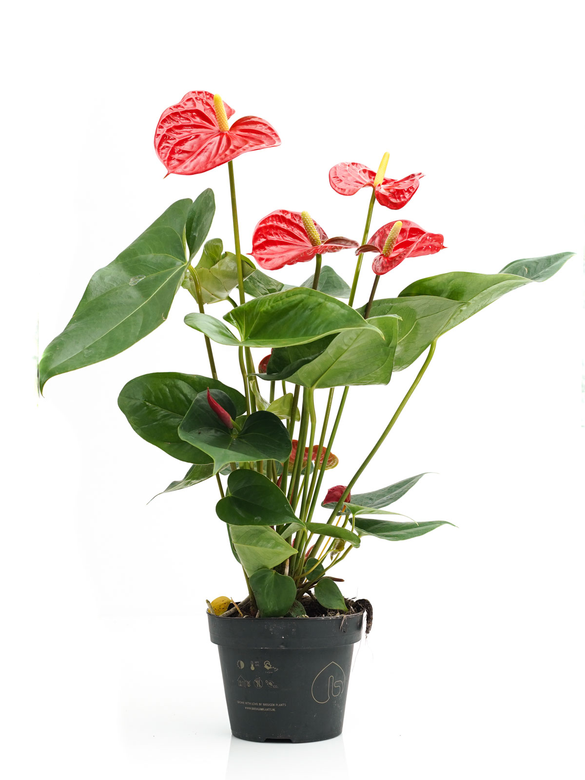 أنثوريوم (أحمر) نباتات داخلية