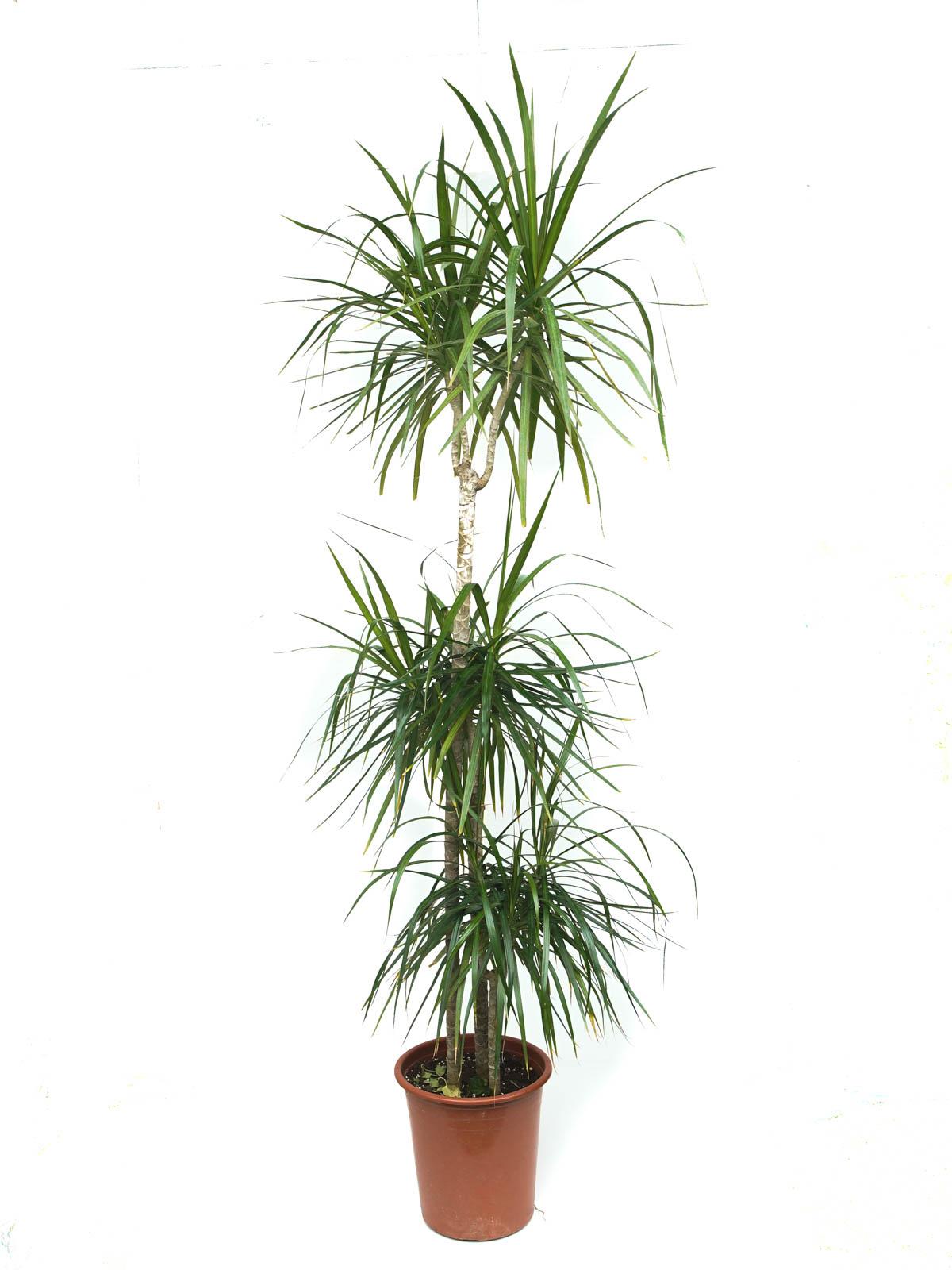 الخيزران مارجيناتا 'نباتات داخلية'