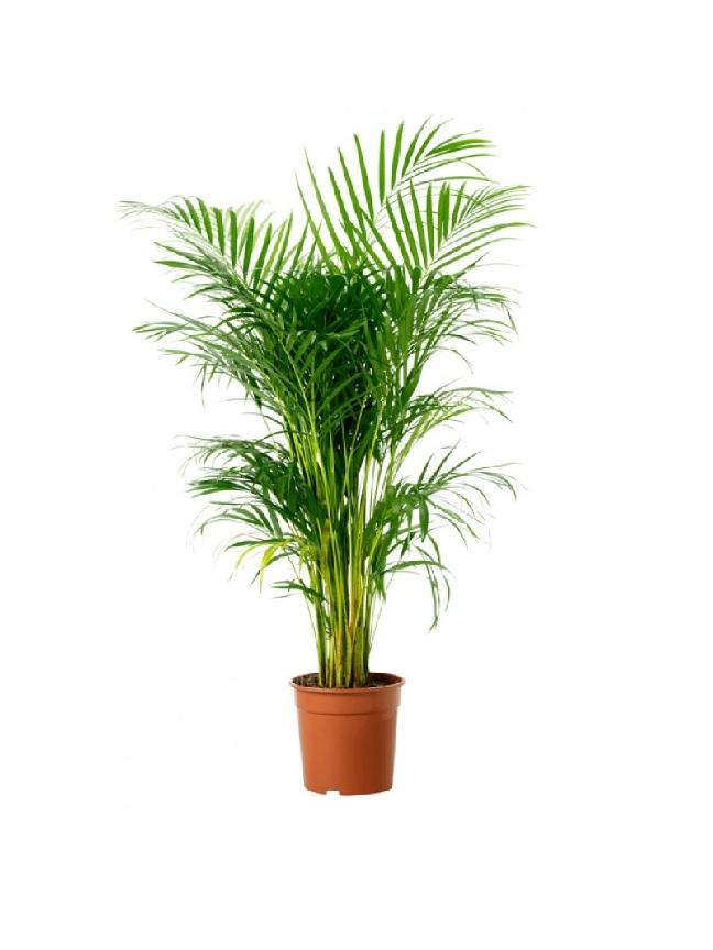 نخلة أريكا  'نباتات داخلية'