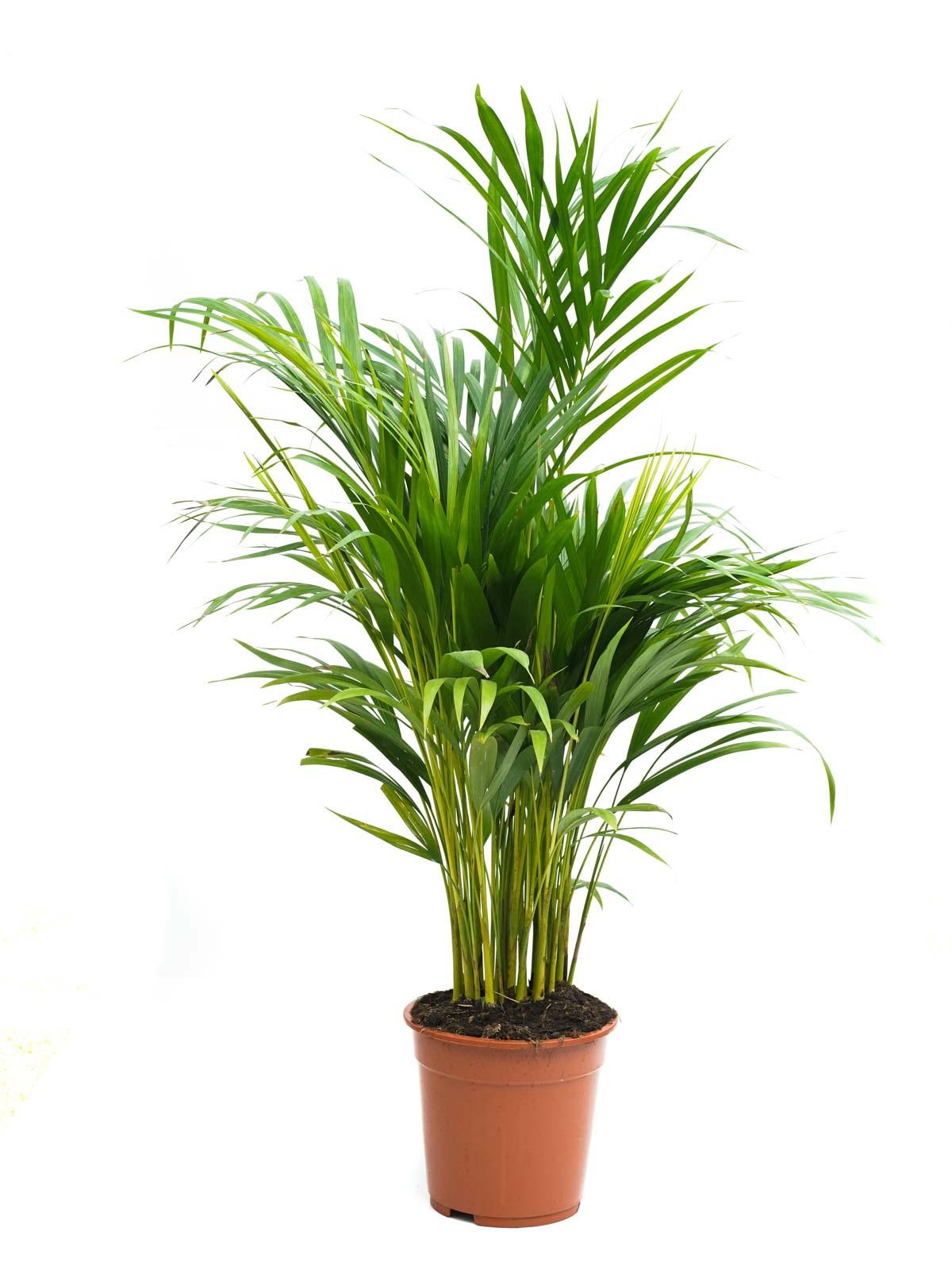 أريكا  نباتات داخلية