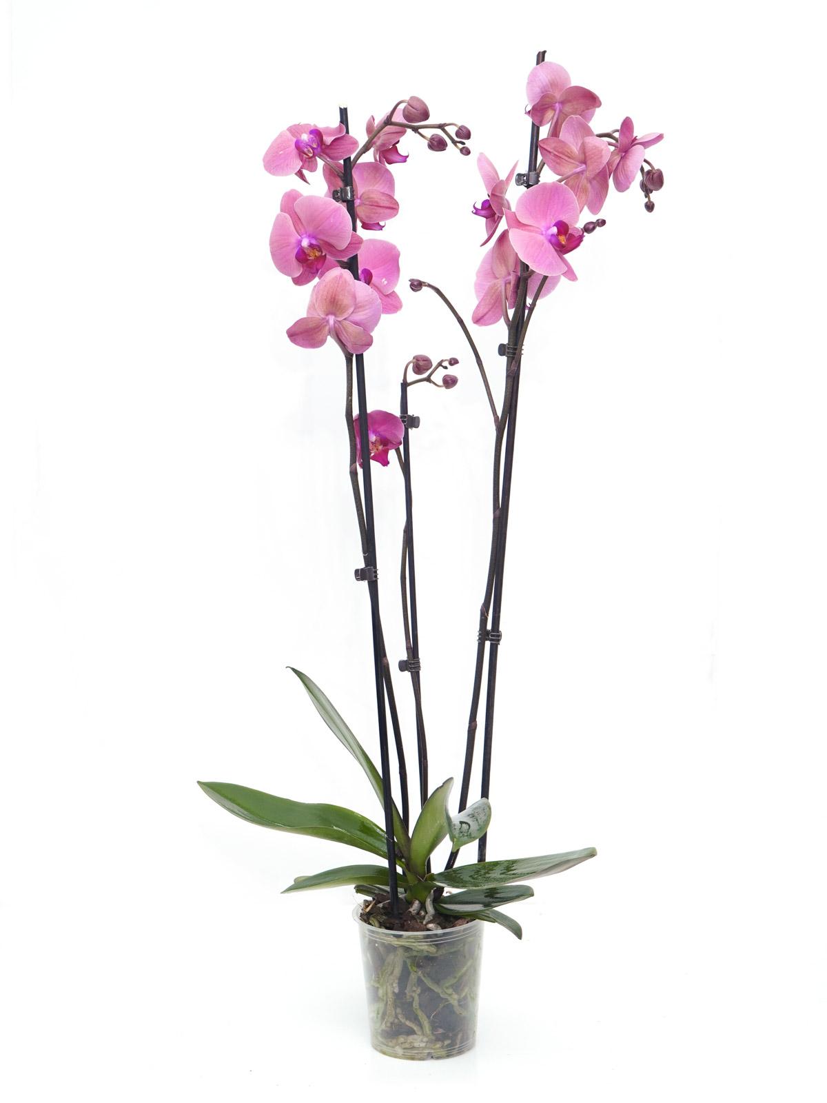Phalaenopsis Orchidea GR Flowering Plants