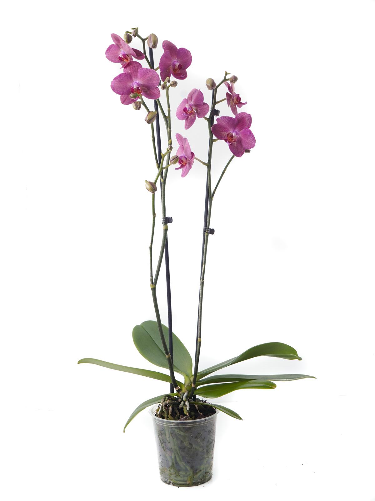 Phalaenopsis Orchid Light Pink Indoor Plants