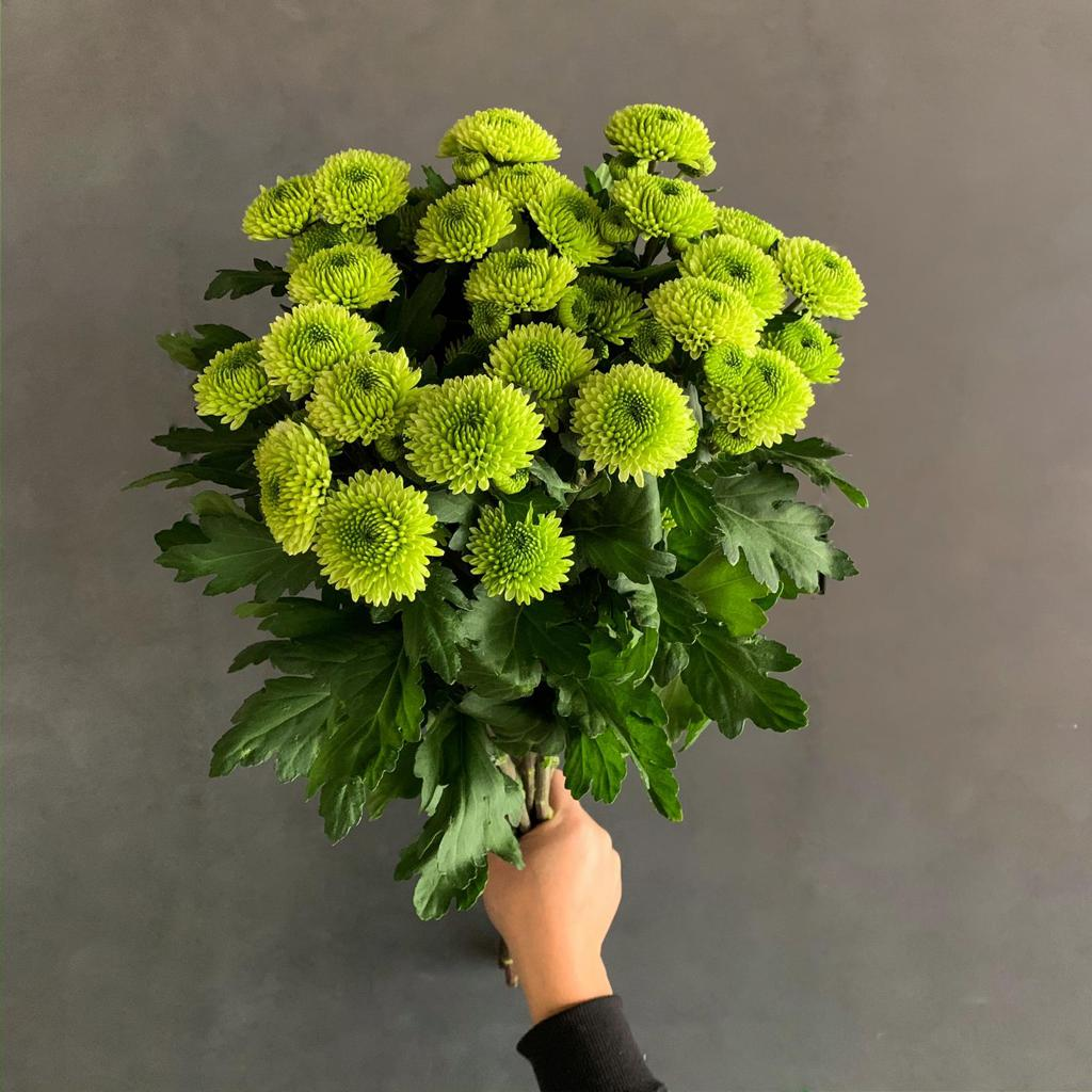 Chrysanthemum Green 'Wholesale Flowers'