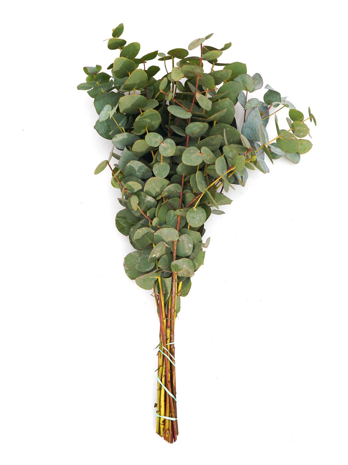 يوكاليبتوس  الزهور بالجملة