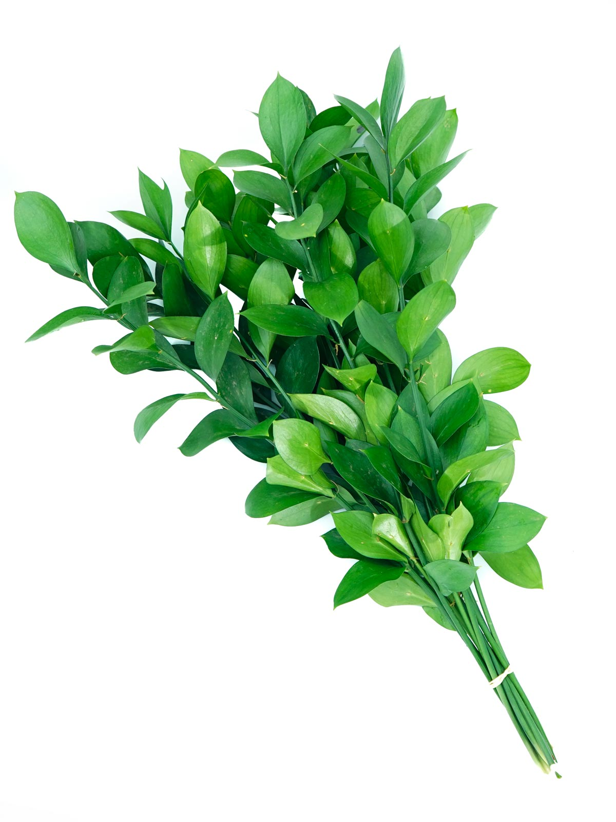 Ruscus Wholesale Flowers