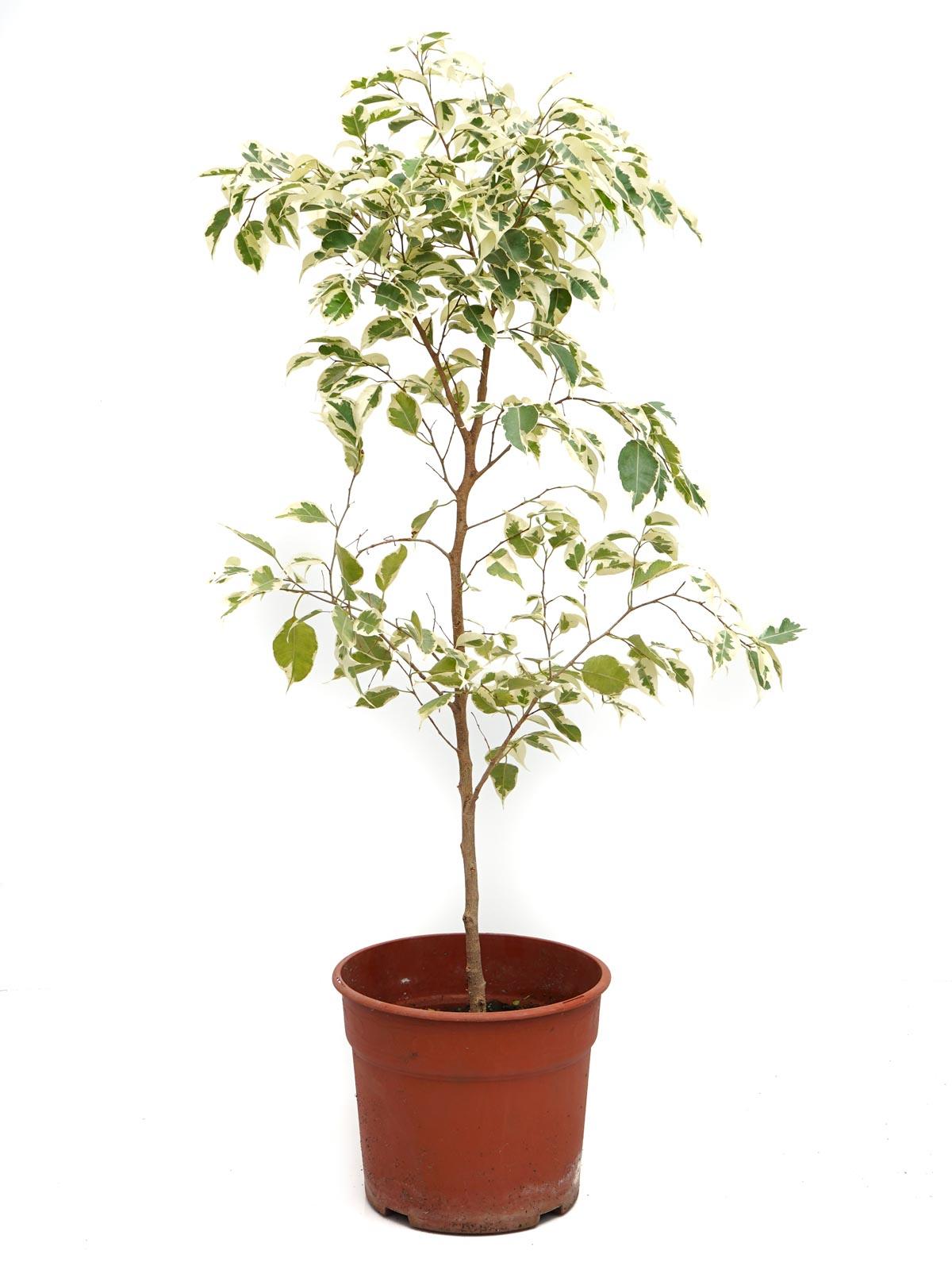 Ficus Double Colour Outdoor Plants