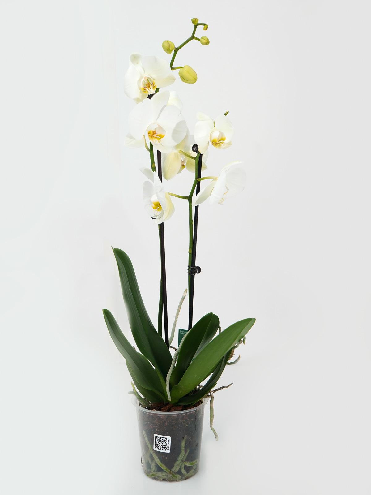 بيلانوبسيس أوركيد نباتات داخلية