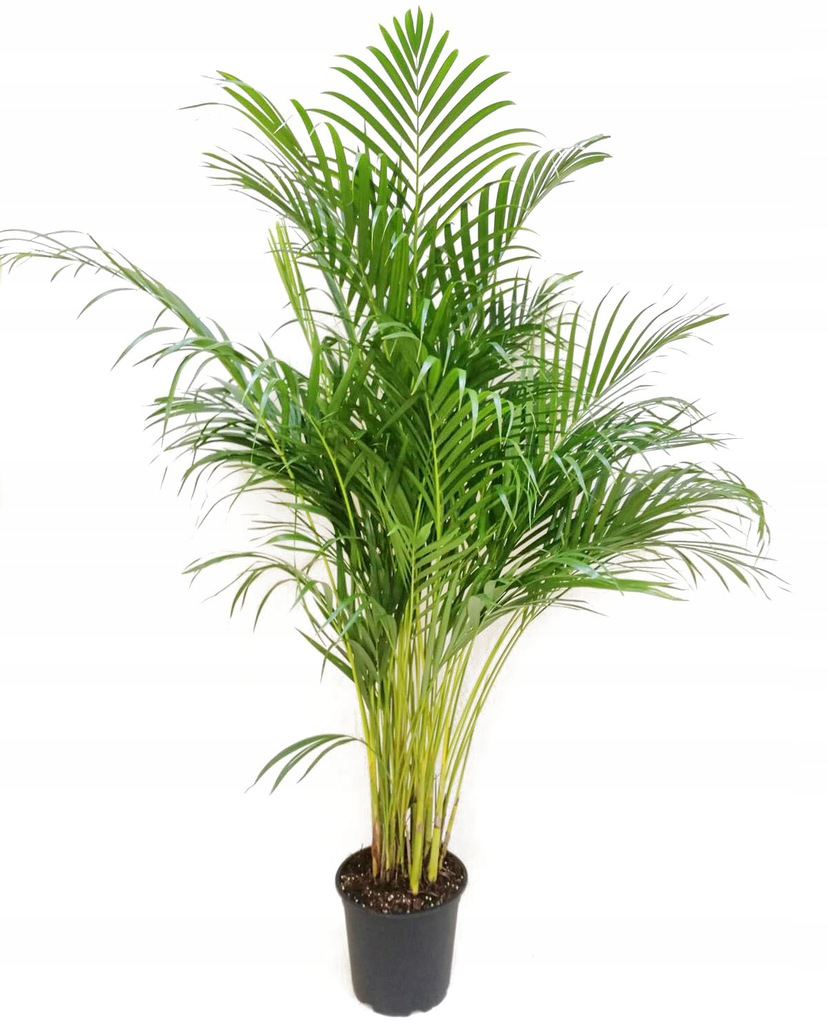 Areca Holland Indoor Plants