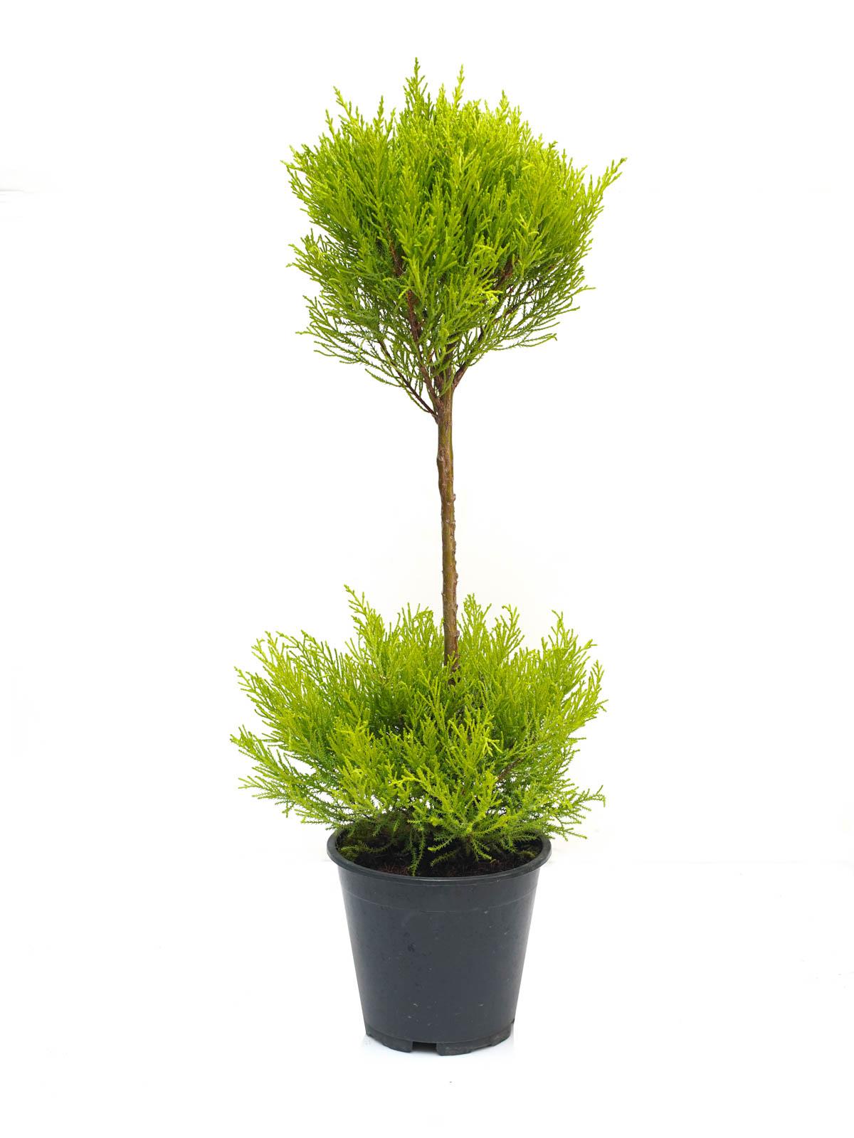Cupressus Macrocarpa Gold Ball 'Indoor Plants'