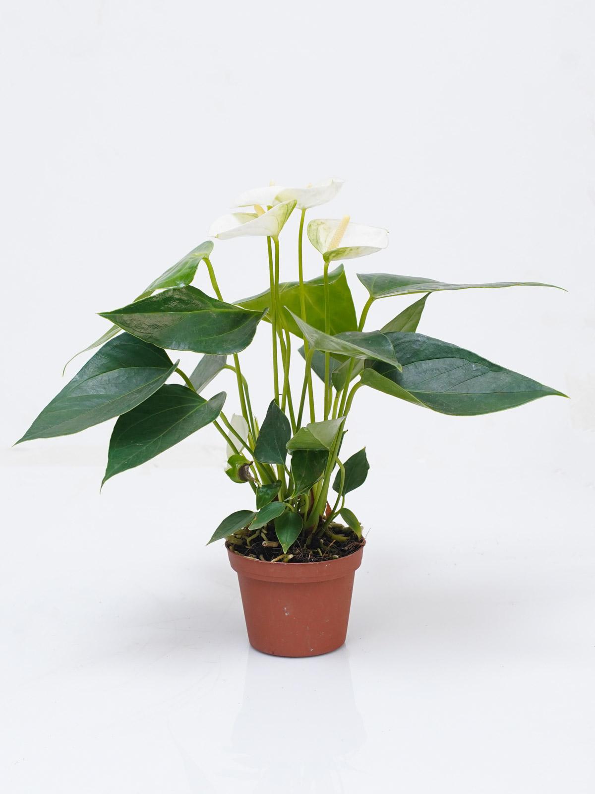 أنثوريوم - أبيض 'نباتات داخلية'