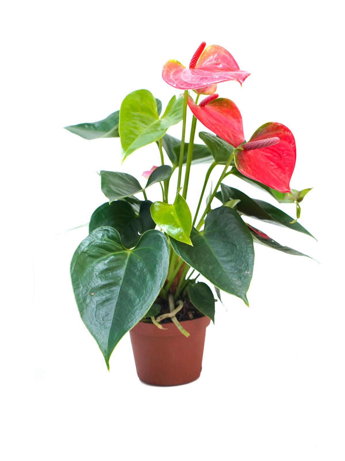 Anthurium Red P12 Indoor Plants