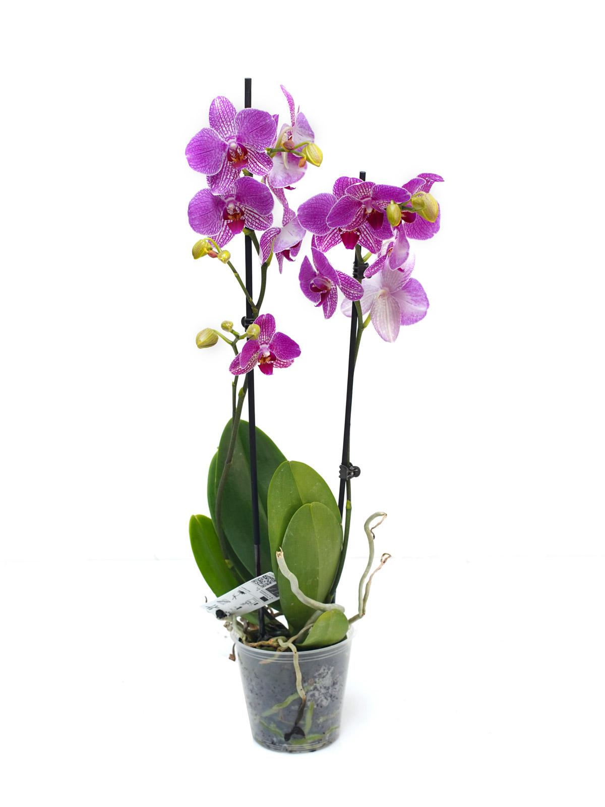 فالاينوبسيس أوركيد (أرجواني) نباتات داخلية