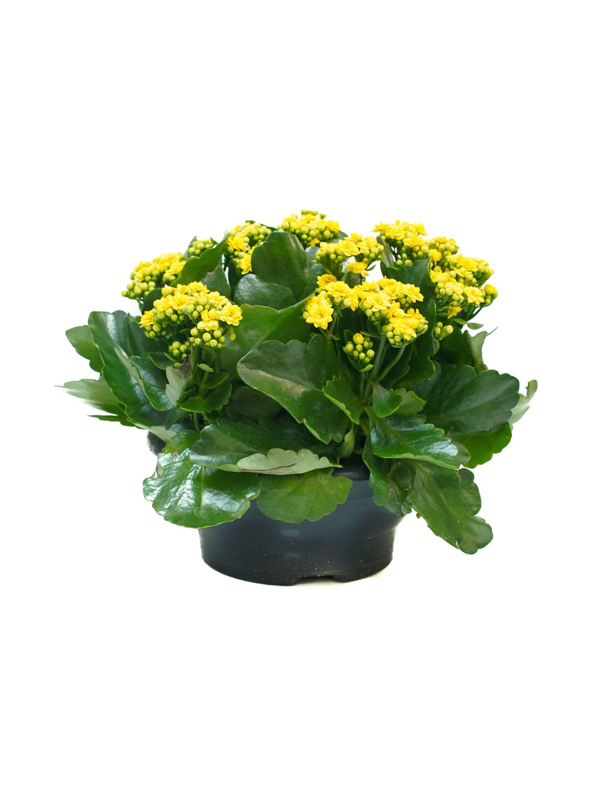 كلنكوة (أصفر) نباتات داخلية