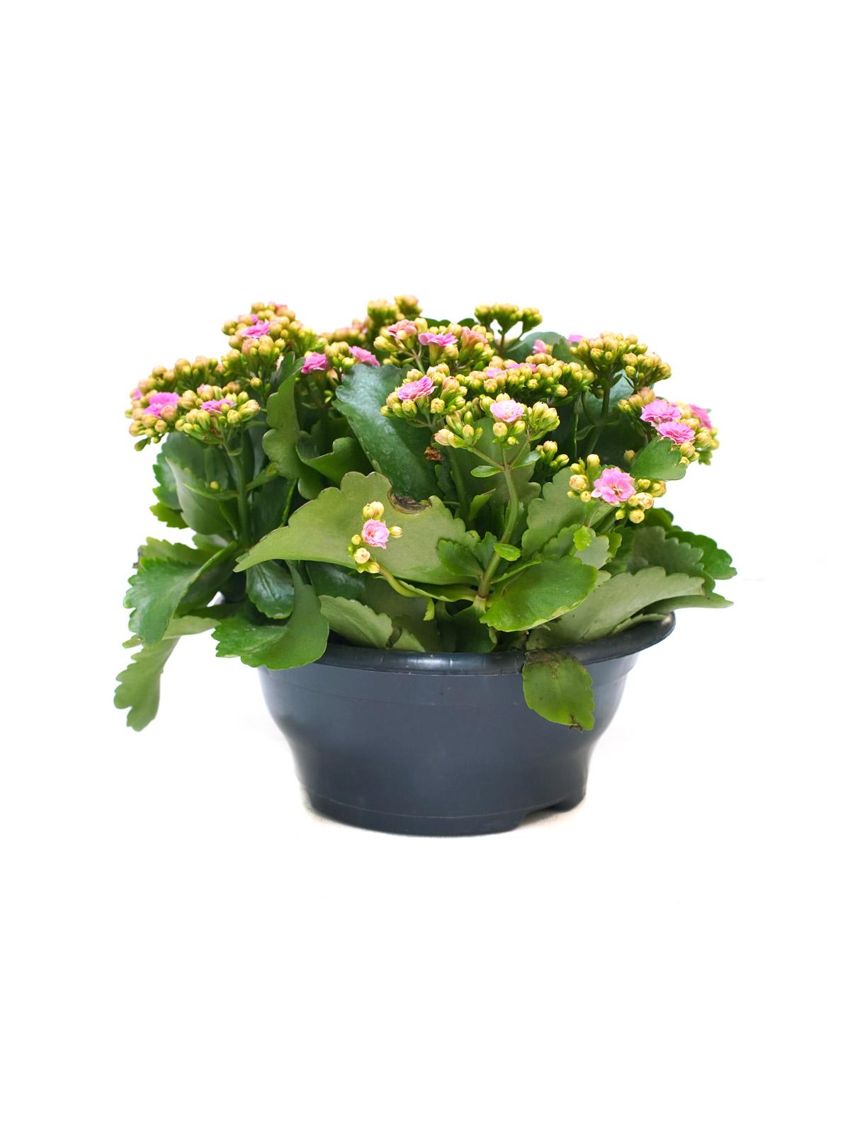 Kalanchoe Calandiva Indoor Plants