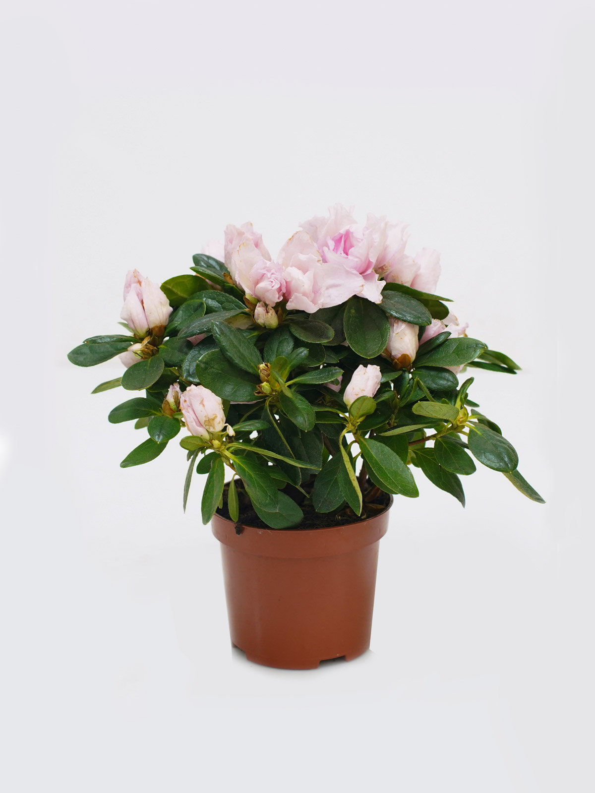 Azalea Lite Pink Indoor Plants