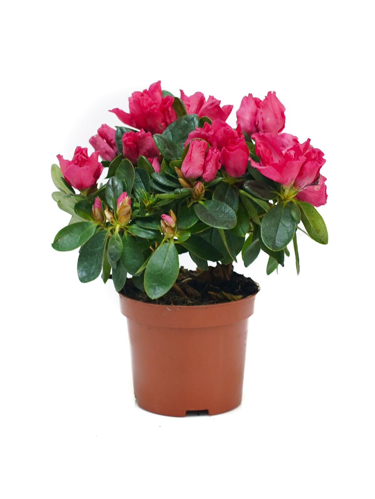 Azalea Pink Indoor Plants