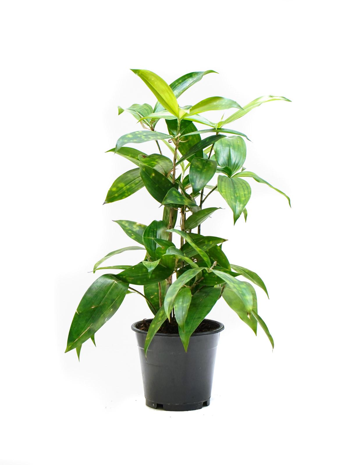 دراسينا سركولوسا 'نباتات داخلية'