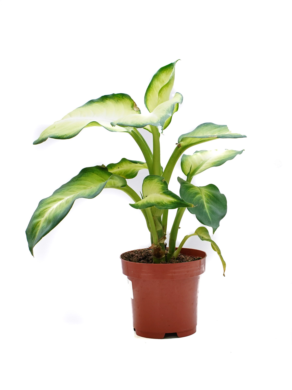 Dieffenbachia Summer Style Indoor Plants