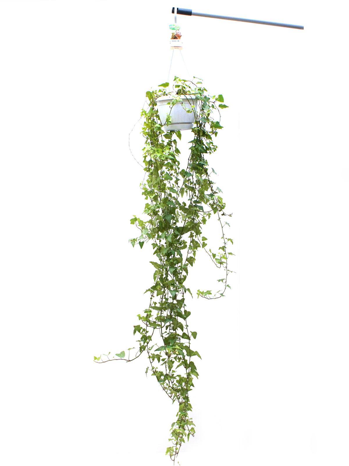 Hedera Helix Anna Indoor Plants