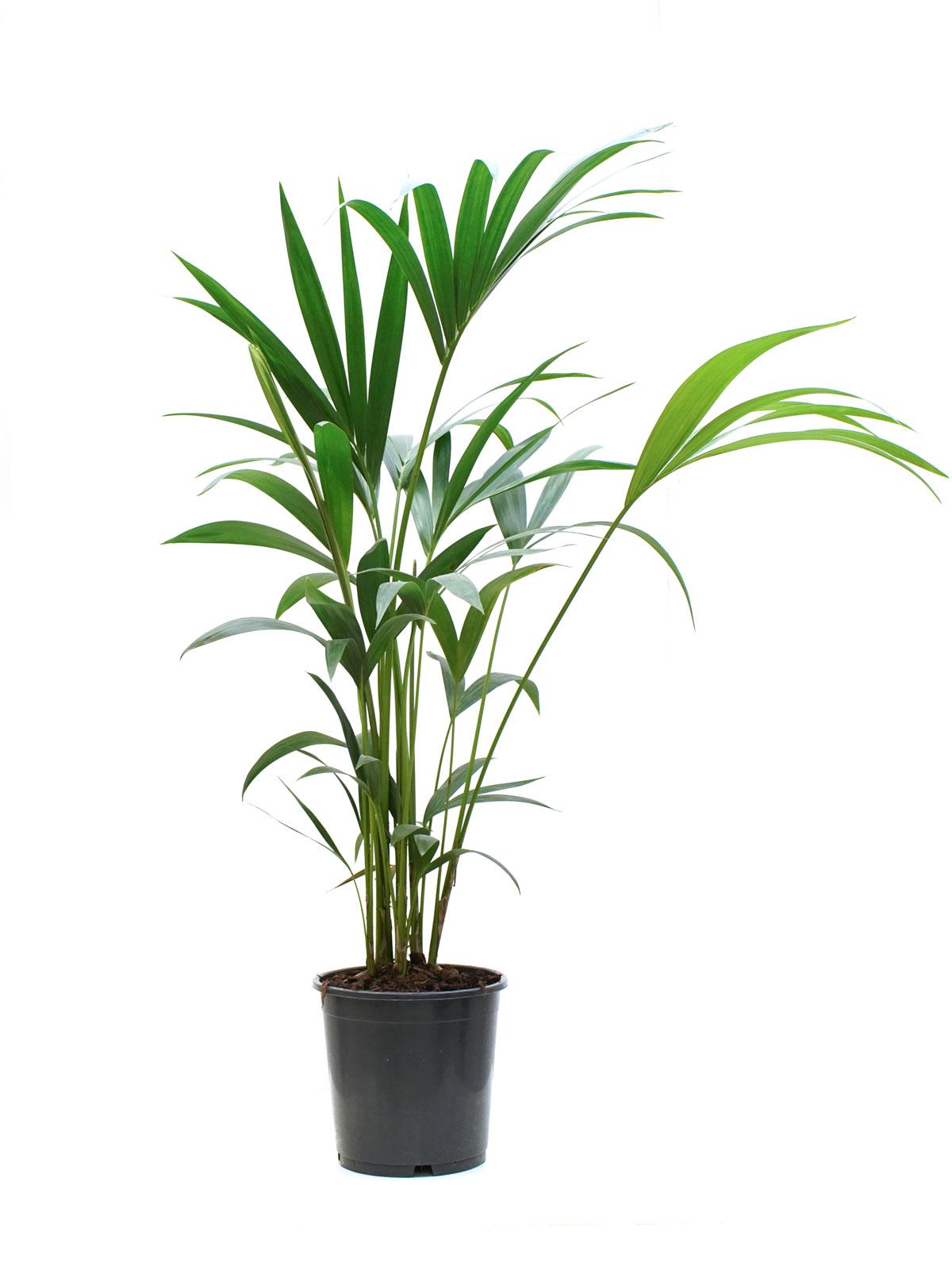 هوويا فورستريانا (كنتيا) نباتات داخلية