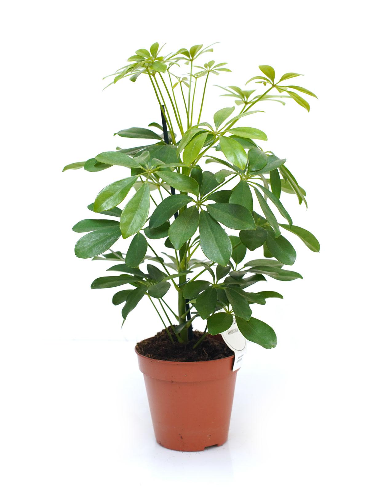 شيفليرا نورا نباتات داخلية