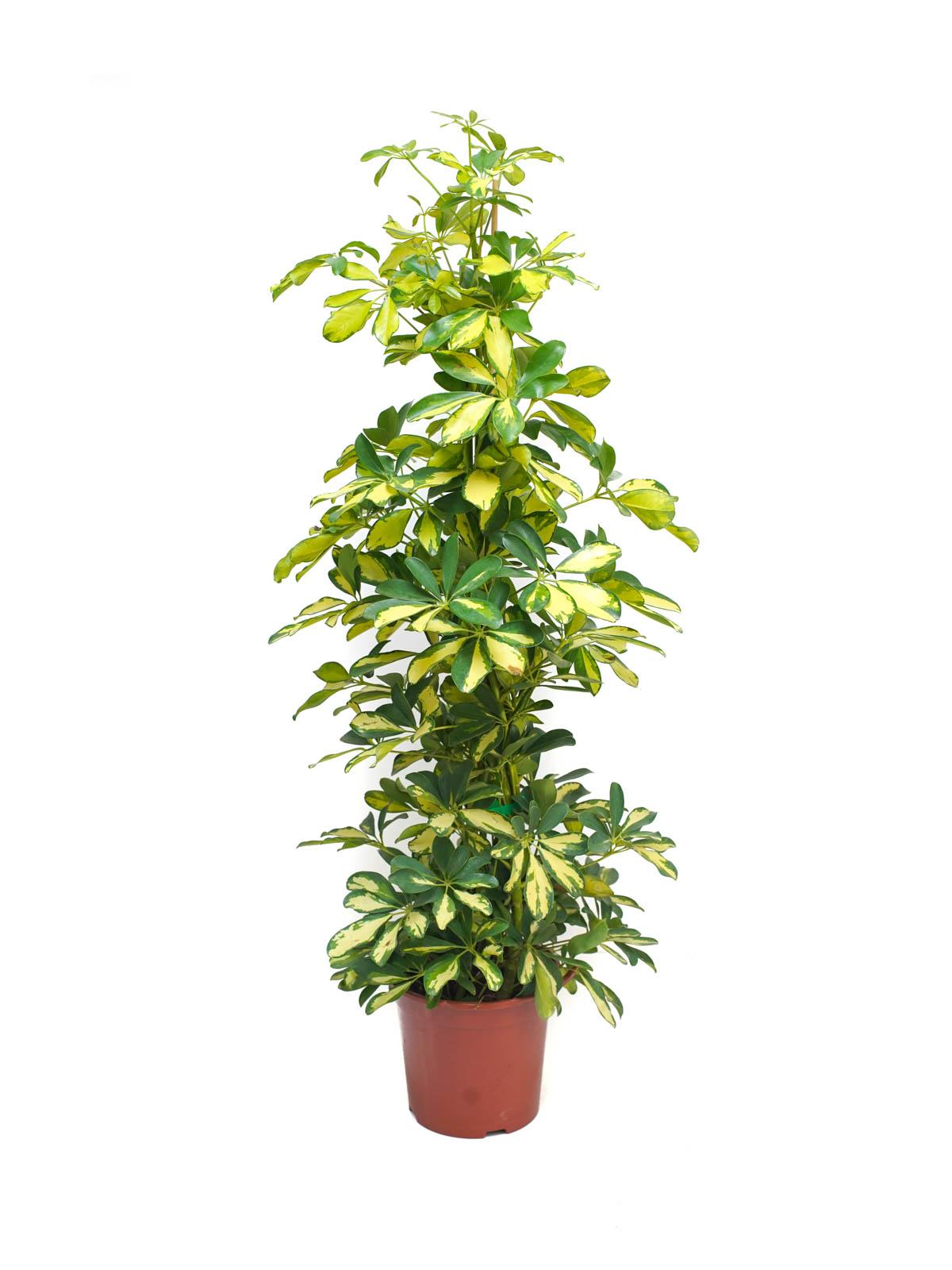 شيفليرا ذهبي نباتات داخلية