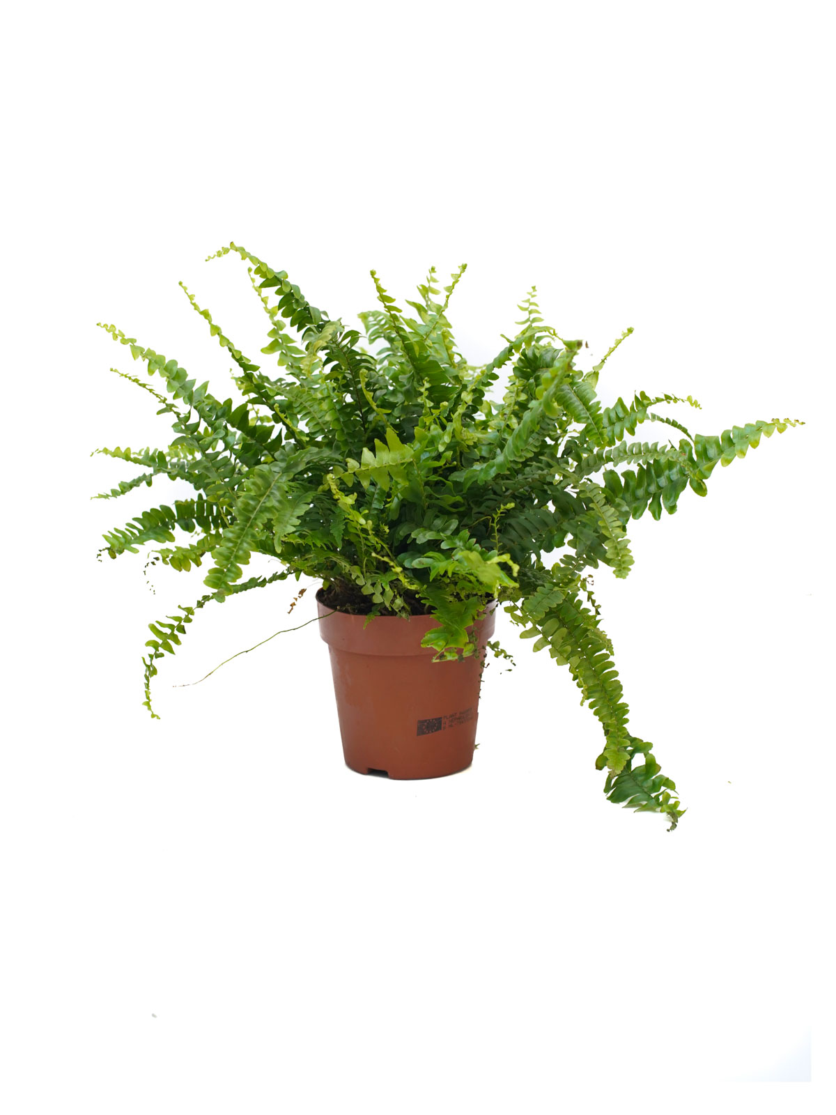 Nephrolepis Exaltata ALS Indoor Plants
