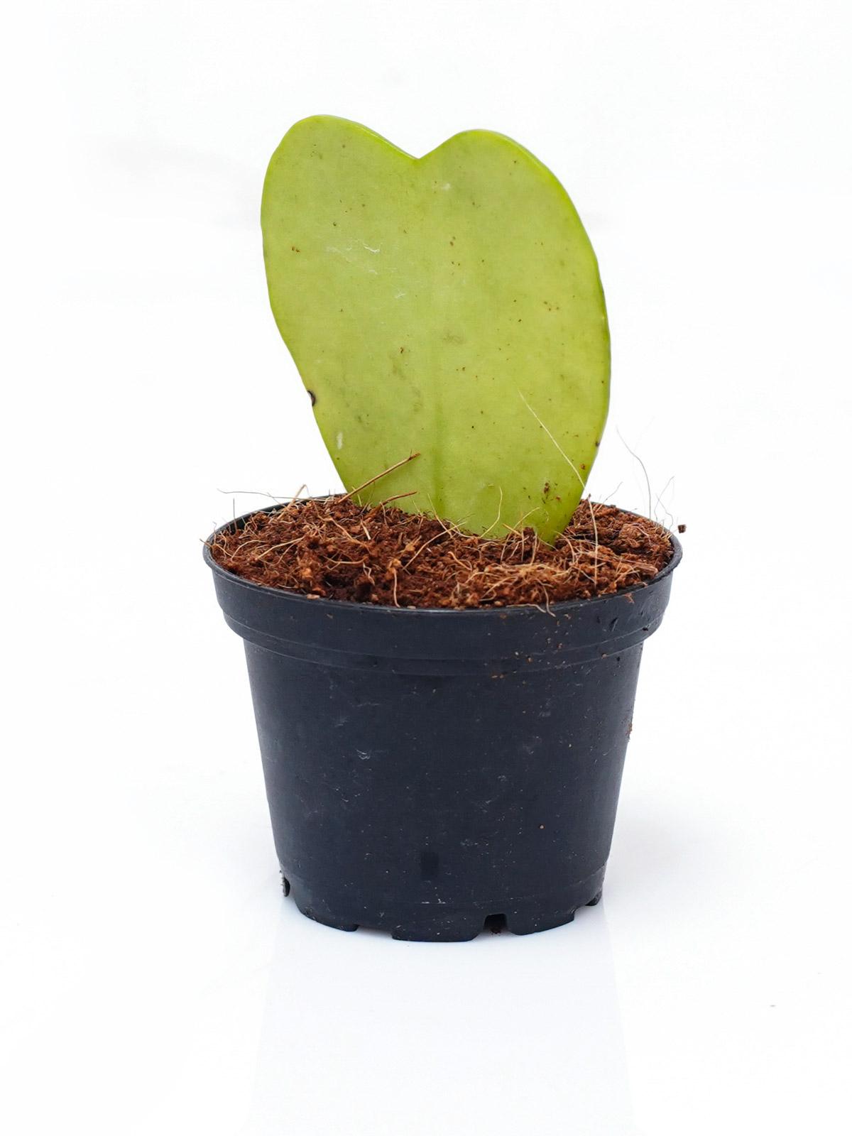 هويا كيري نباتات داخلية