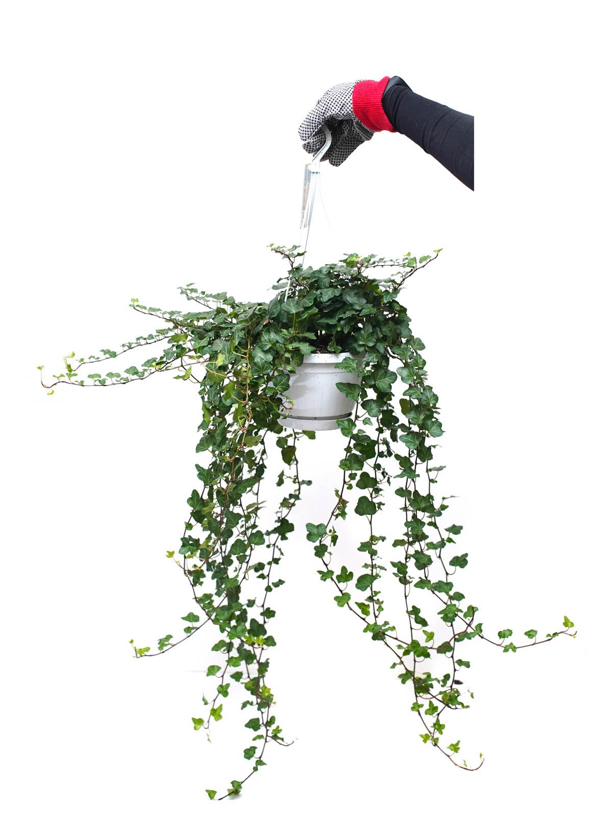 هديرا هيليكس نباتات داخلية