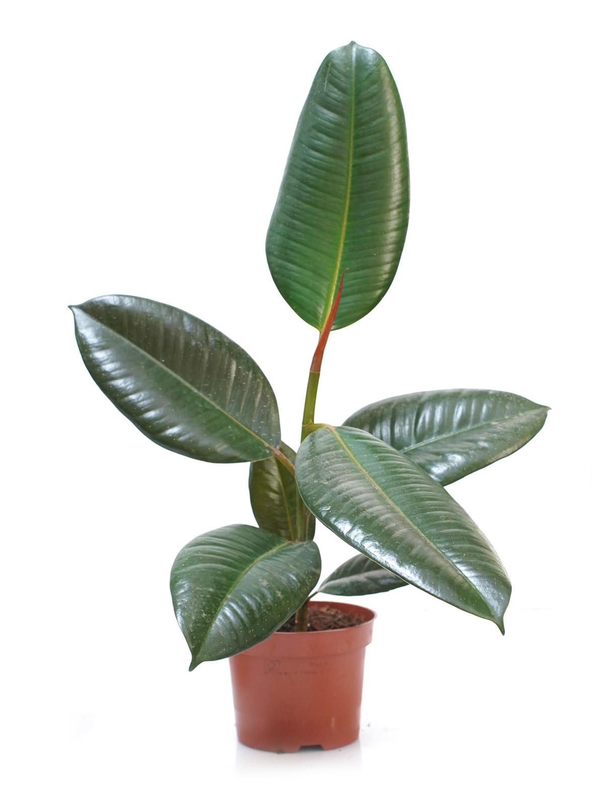 Ficus Robusta ALS 'Indoor Plants'
