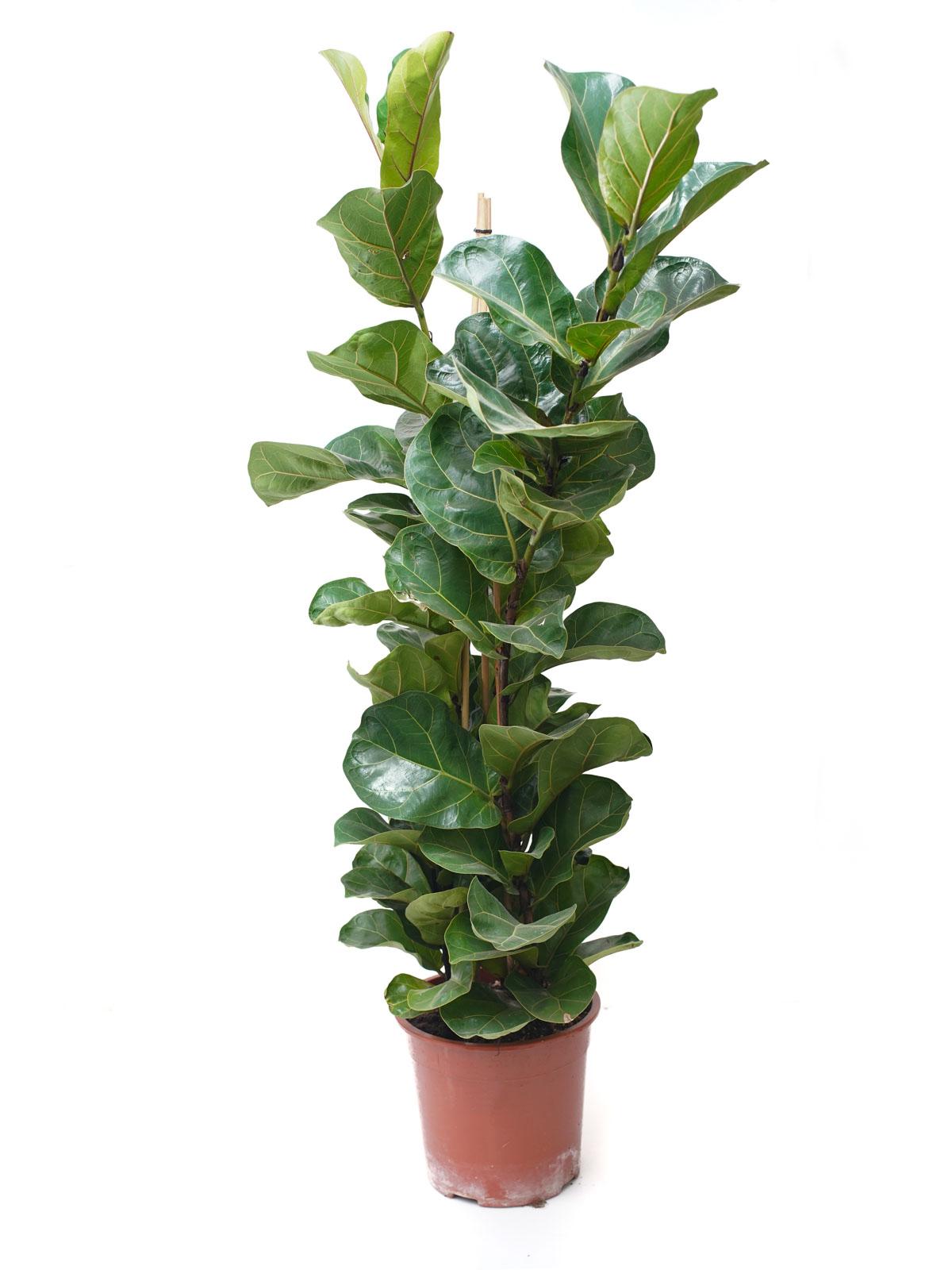 فايكس ليراتا  نباتات داخلية