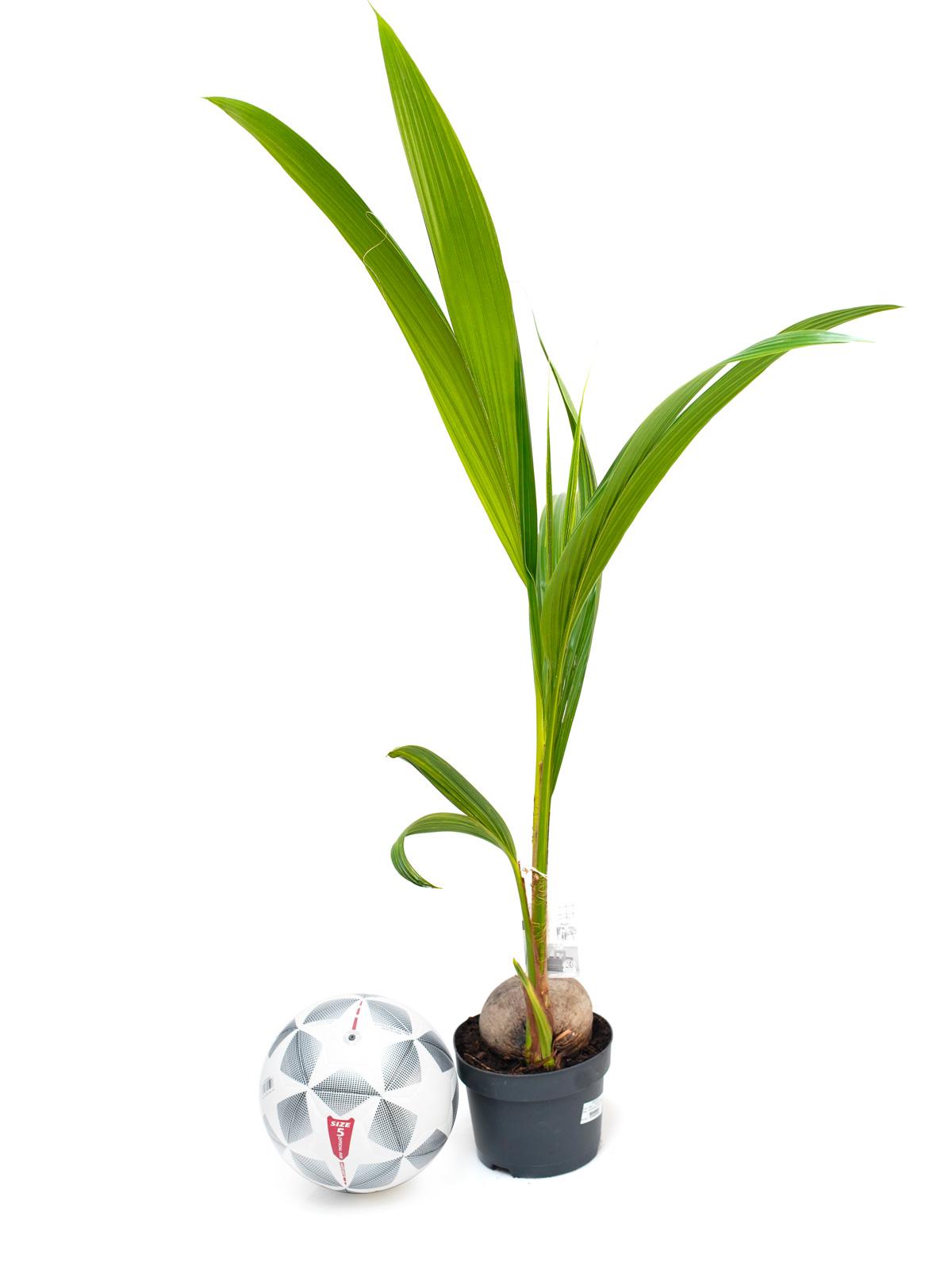 نخيل كوكوس نوسيفيرا نباتات داخلية