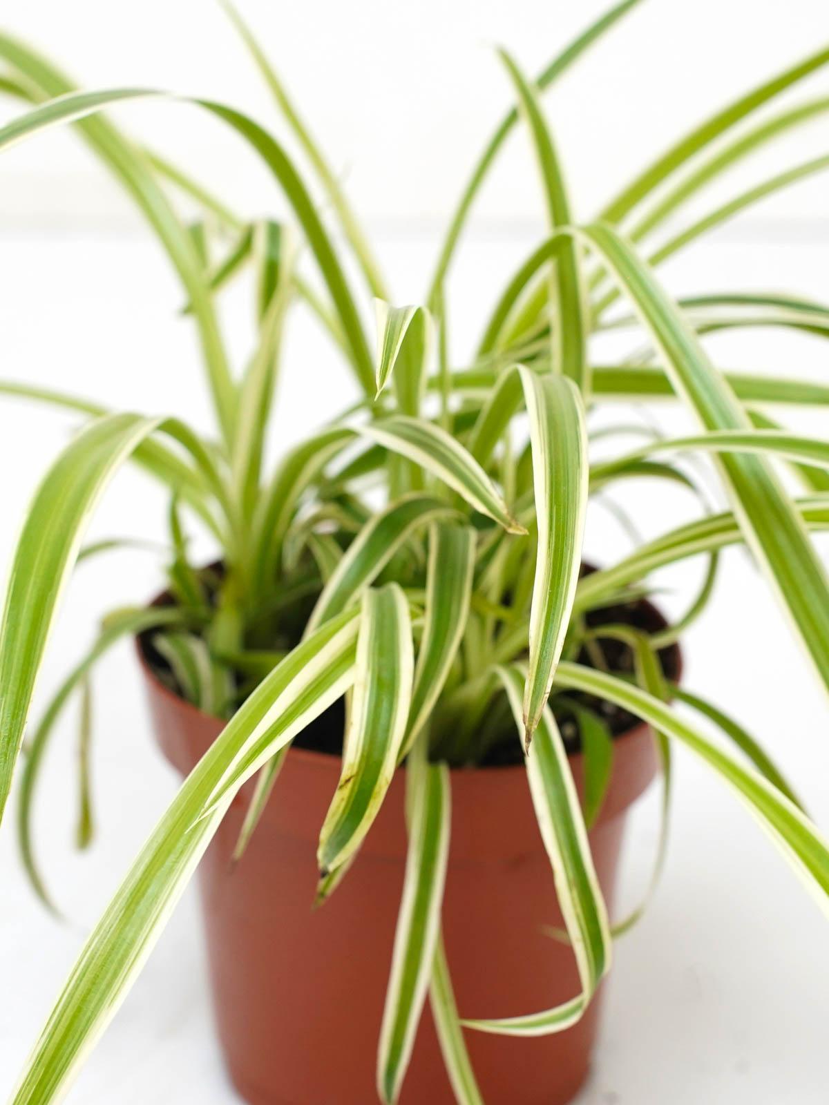 Chlorophytum Plant 'Indoor Plants'