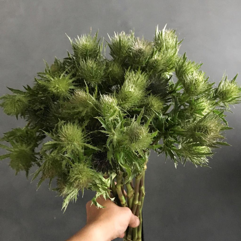 ارنجيوم أخضر  الزهور بالجملة