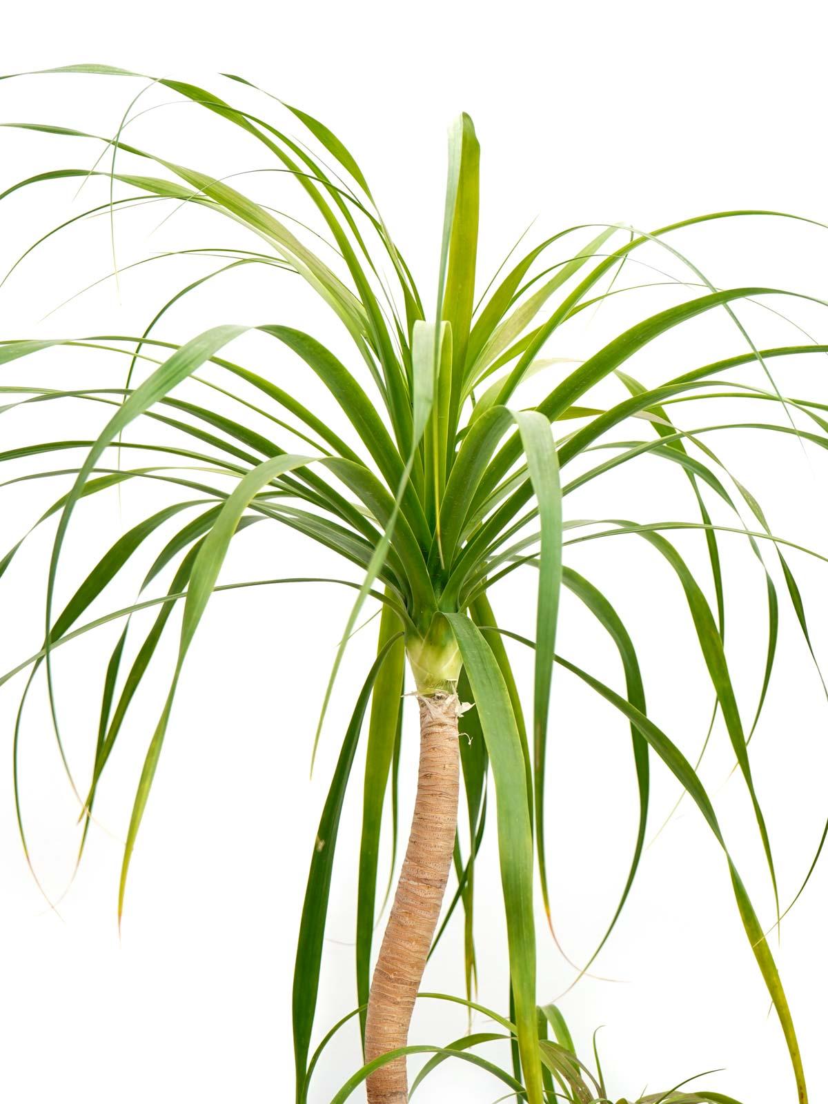 Nolina Recurvata-S Outdoor Plants