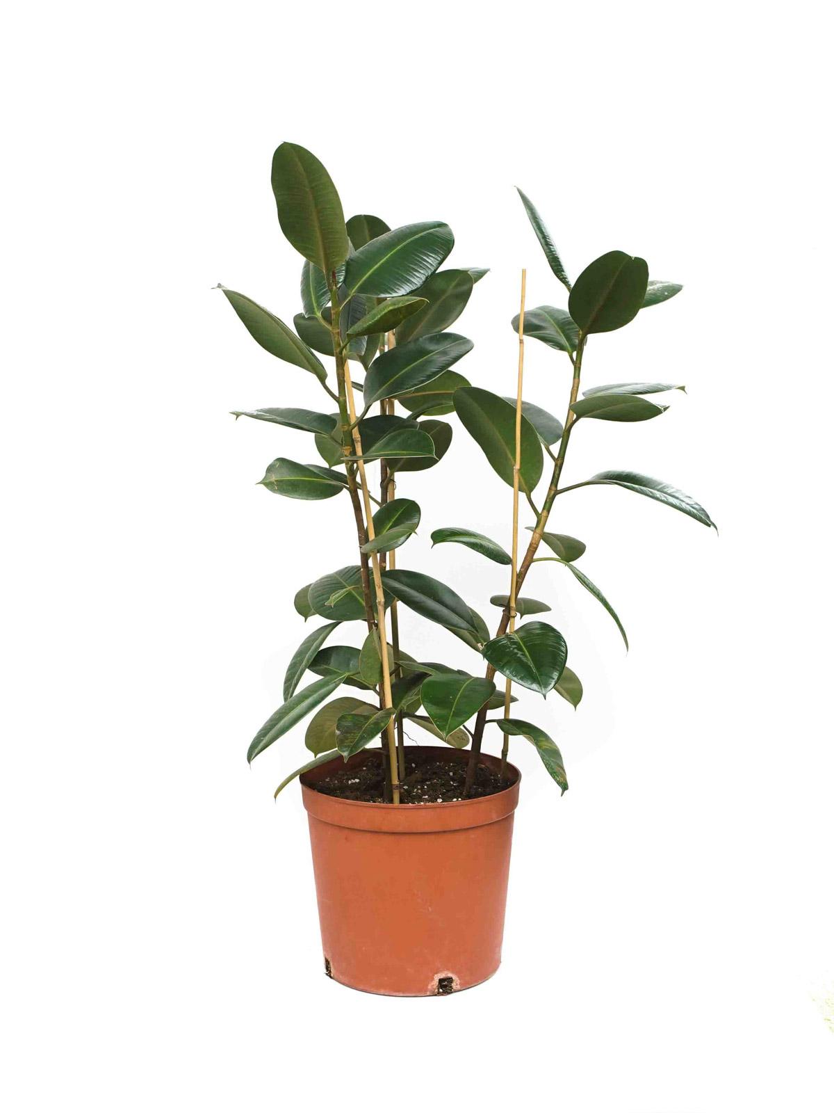 تين مرن نباتات داخلية