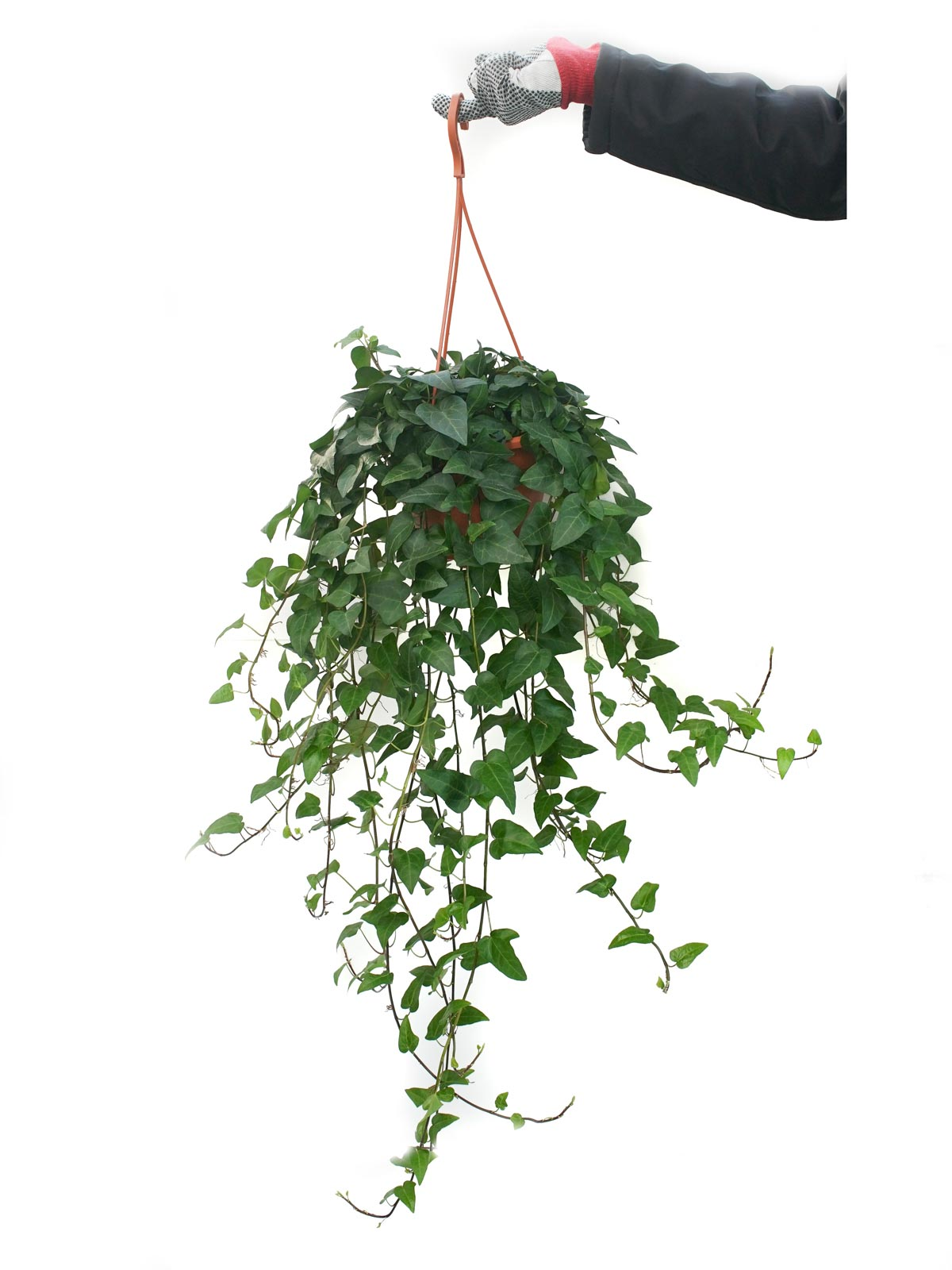 Hedera Helix Hanging Indoor Plants