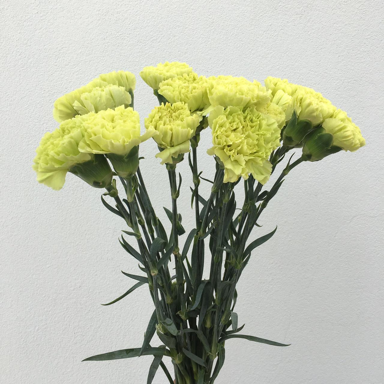 Carnation Green Wholesale Flowers