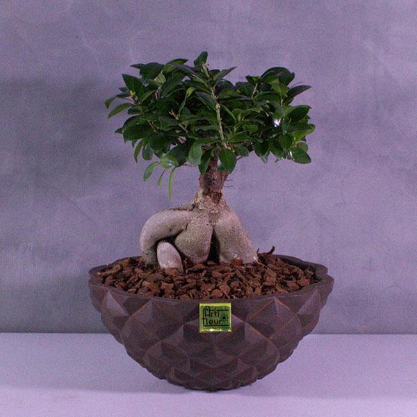 Capidelux Bonsai Ficus Premium Collection