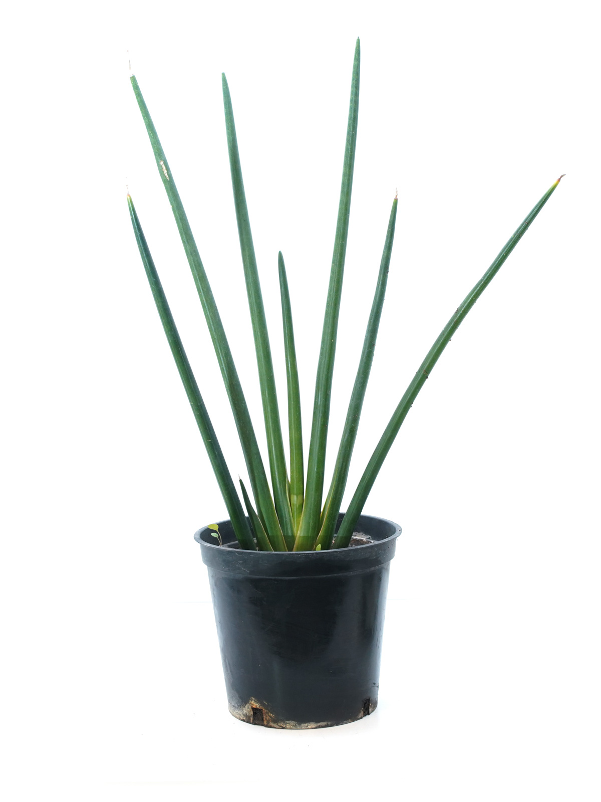 سانسيفيريا سيليندريكا 'نباتات داخلية'