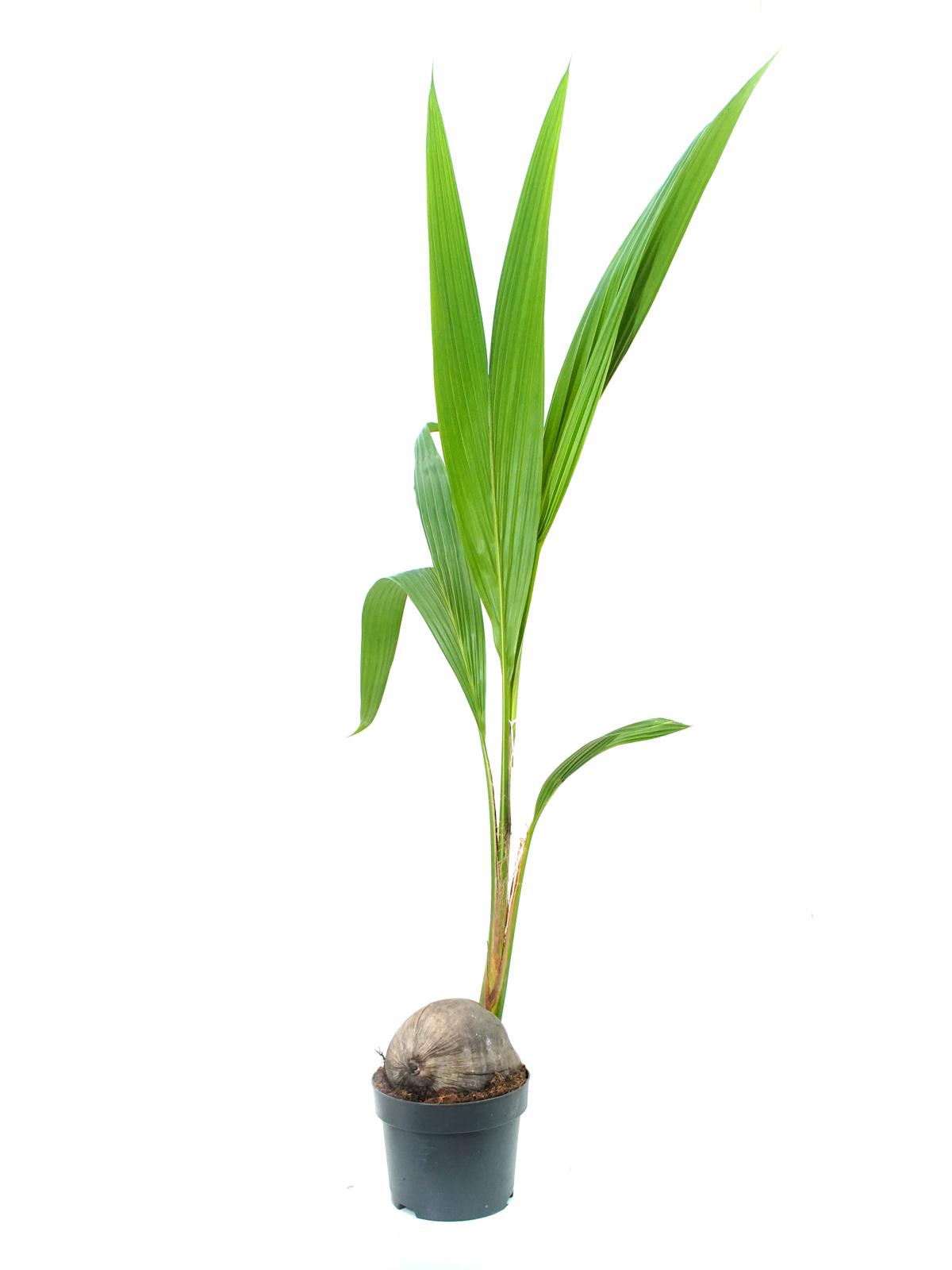 Cocos Nucifera 'Indoor Plants'