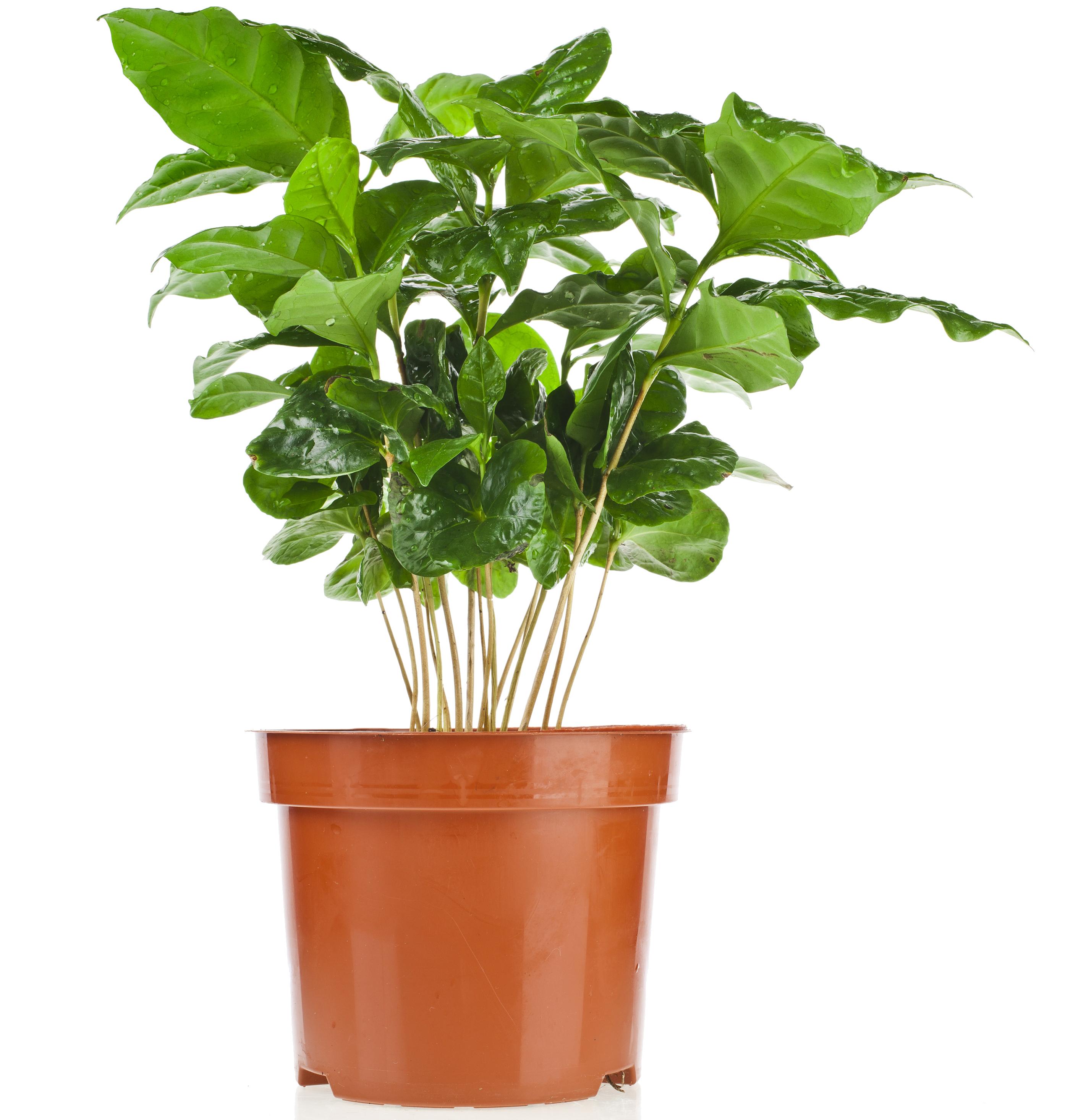 قهوة عربية نباتات داخلية