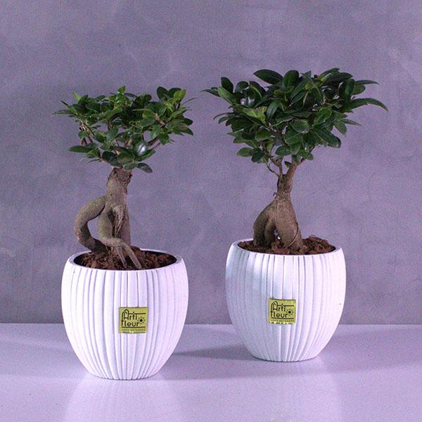Lucky Bonsai Duo Premium Collection