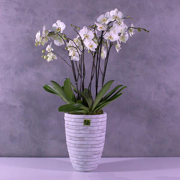 زهور أوركيد بيضاء كبيرة  التشكيلة الفخمة