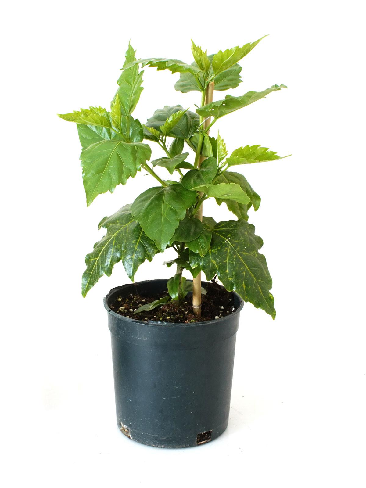 Hibiscus 'Indoor Plants'