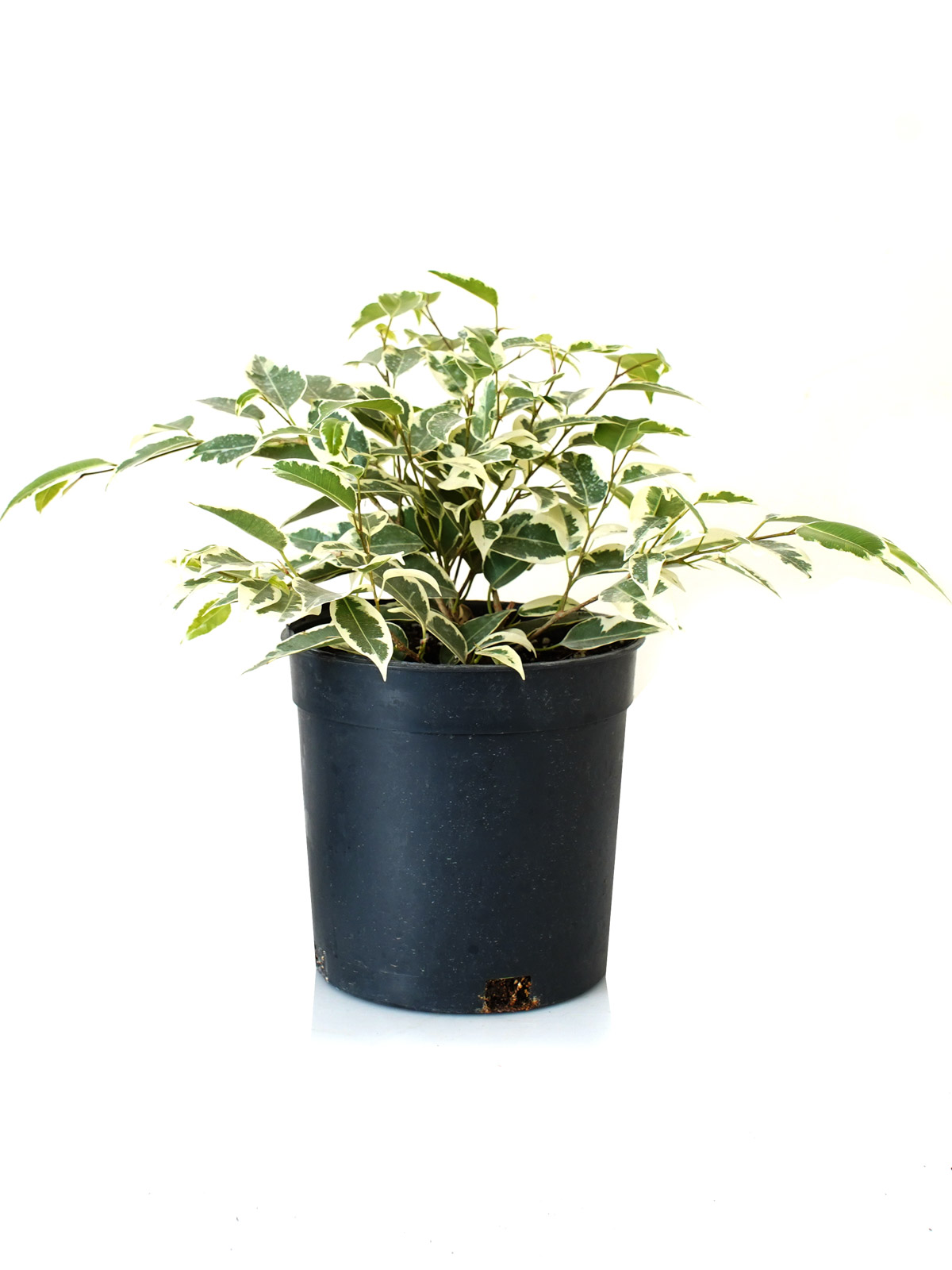 فيكس نباتات داخلية