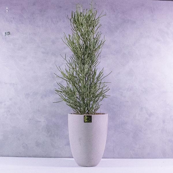 Euphorbia Premium Collection