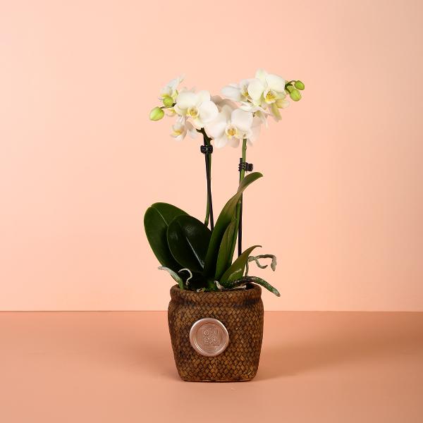 Mini Orchid 1 Office Plants