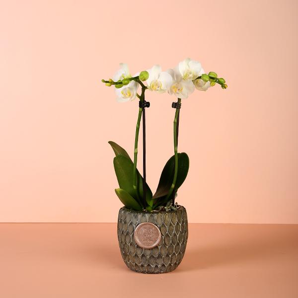ميني اوركيد ٢ نباتات للمكاتب